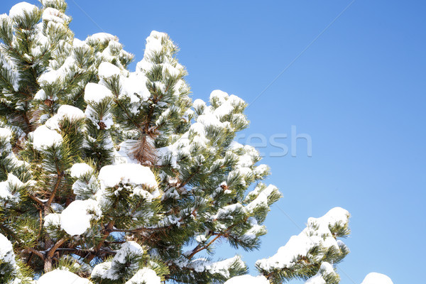 Neve pino alberi cielo blu Foto d'archivio © dbvirago
