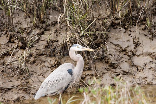 Great Blue Heron in Muddy Stream Stock photo © dbvirago