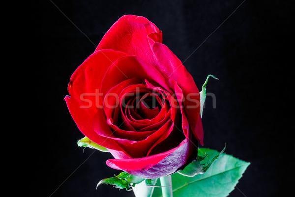 シングルバラ 黒 赤いバラ 花 春 ストックフォト © dbvirago