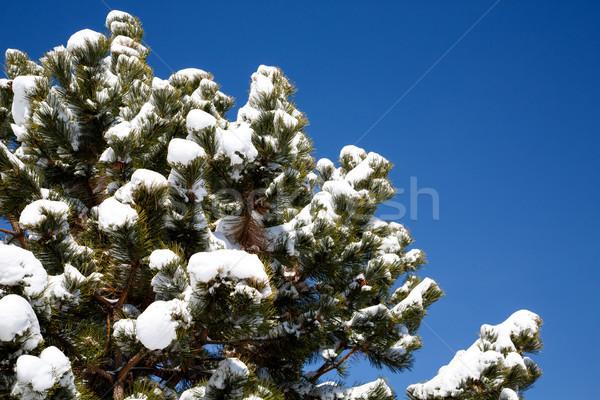Neve pino pino alberi cielo blu Foto d'archivio © dbvirago