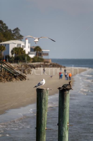 Seagull Flying Over Birds on Pilings Stock photo © dbvirago
