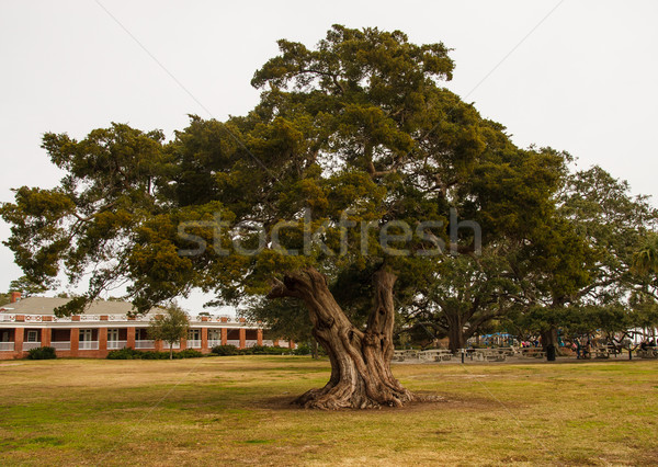 Foto d'archivio: Enorme · vecchio · quercia · pubblico · parco · vivere