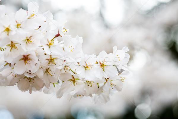 ストックフォト: 白 · クローズアップ · 桜 · ツリー