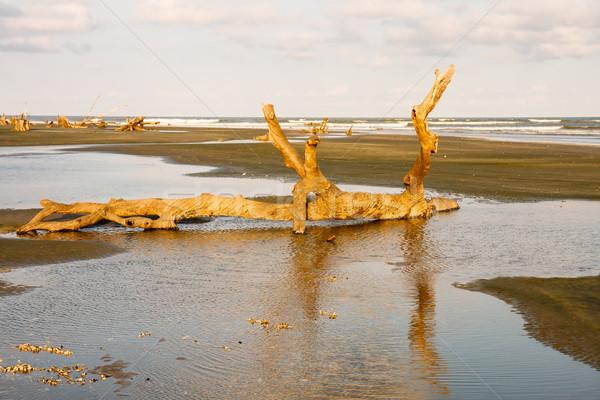 Driftwood plaży późno dzień słońce Zdjęcia stock © dbvirago