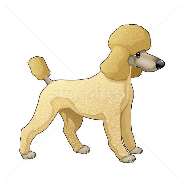 пудель вектора изолированный собака смешные молодые Сток-фото © ddraw