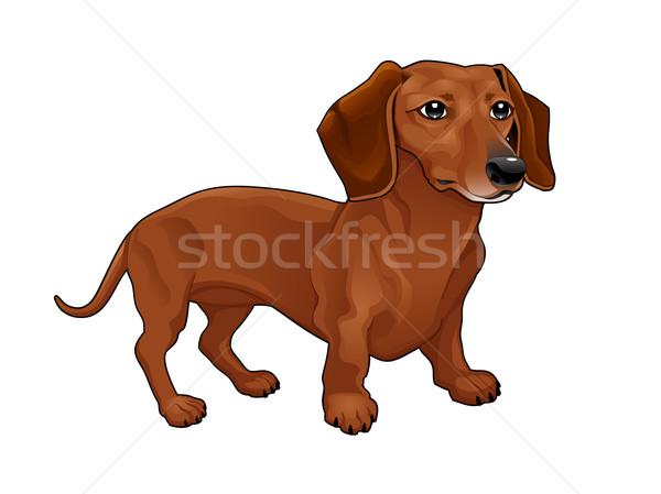 Tacskó vektor izolált kutya fiatal verseny Stock fotó © ddraw