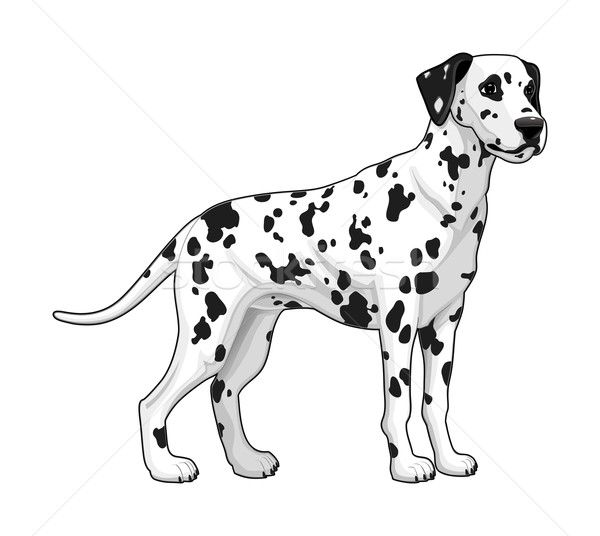 Dalmatian. Stock photo © ddraw