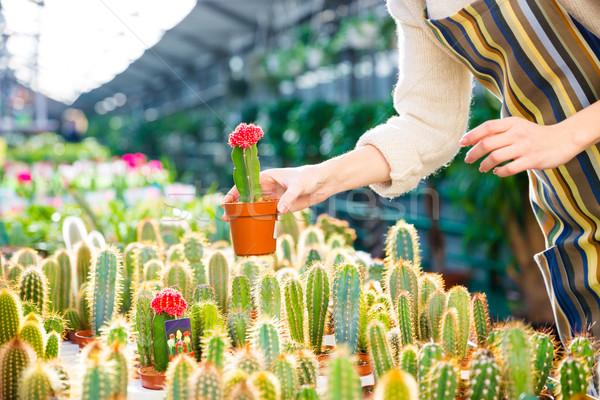 Pequeño cactus manos mujer jardinero invernadero Foto stock © deandrobot