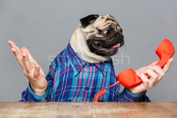Confused pug dog with man hands holding red phone receiver Stock photo © deandrobot