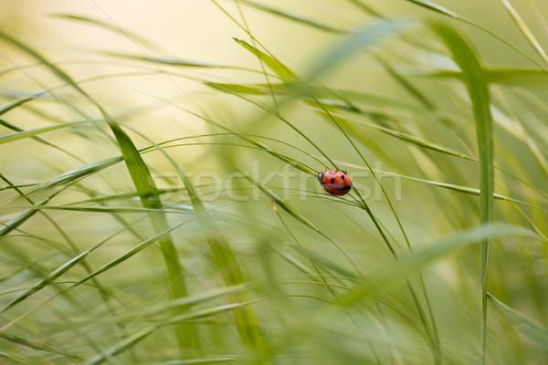 Uğur böceği oturma yeşil ot kırmızı küçük bahar Stok fotoğraf © deandrobot