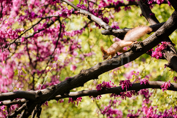 Cute red squirrel on the blooming tree with pink flowers Stock photo © deandrobot