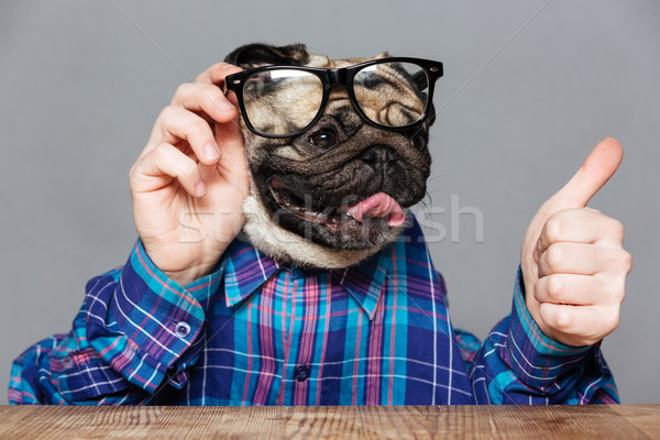 Pug dog with man hands in shirt and glasses  Stock photo © deandrobot