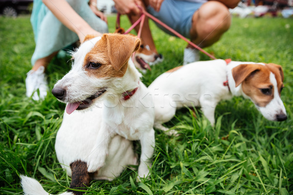Portrait of three jack russels dogs on leash outdoors Stock photo © deandrobot