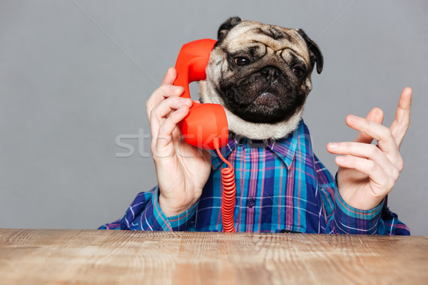 Serious man with pug dog head talking on telephone Stock photo © deandrobot