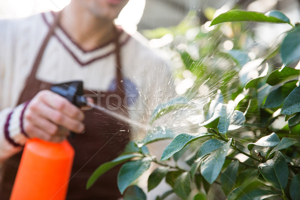 Closeup of man gardener spraying plants using water pulverizer  Stock photo © deandrobot