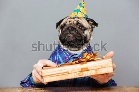 Pug dog with man hands in birthday hat holding present Stock photo © deandrobot