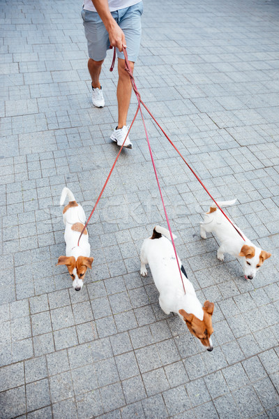 Man walking three jack russell dogs on a sidewalk Stock photo © deandrobot