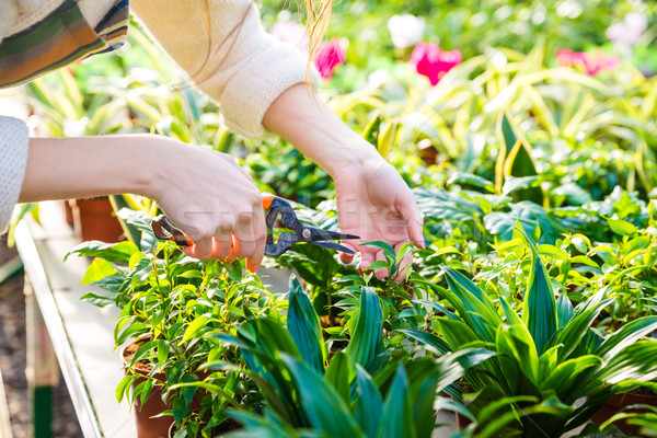 Hands of woman gardener trimming plants with pruning shears  Stock photo © deandrobot