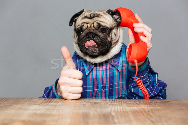 Funny pug dog with man hands talking on telephone  Stock photo © deandrobot