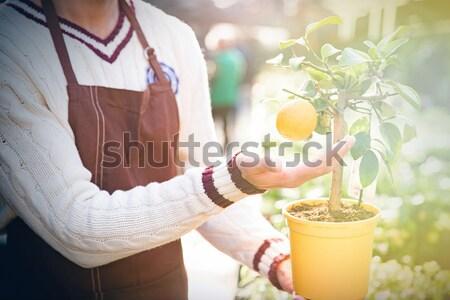 Closeup of small mandarine tree in pot with one tangerine  Stock photo © deandrobot