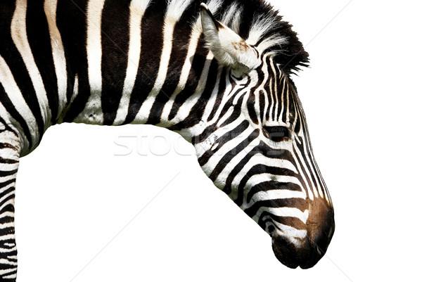 Zebra izolált fehér természet fekete állat Stock fotó © DeCe