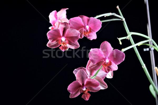 красивой орхидеи темно розовый изолированный красоту Сток-фото © DedMorozz