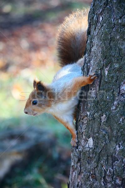 Squirrel on the tree Stock photo © DedMorozz