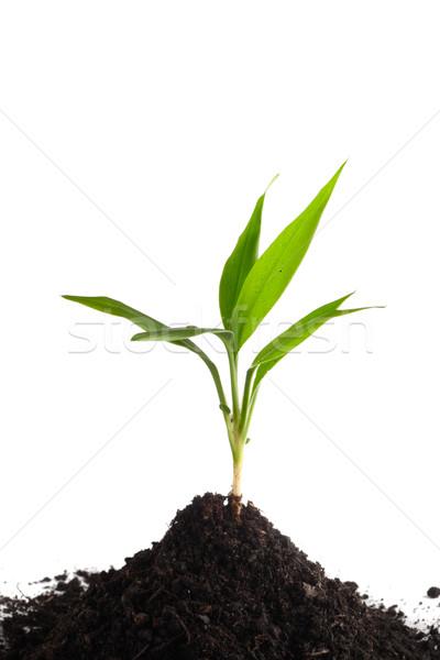 мало зеленый почвы изолированный белый Сток-фото © DedMorozz