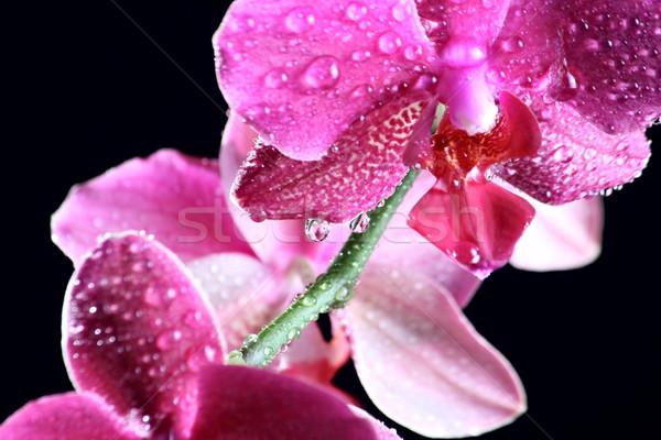 розовый орхидеи темно красивой цветок воды Сток-фото © DedMorozz