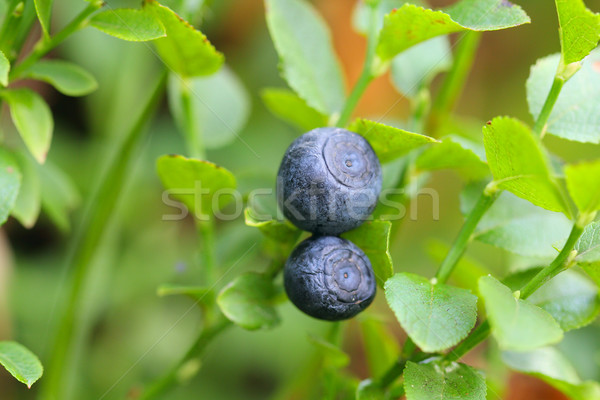 Stock photo: Blueberry at the bush