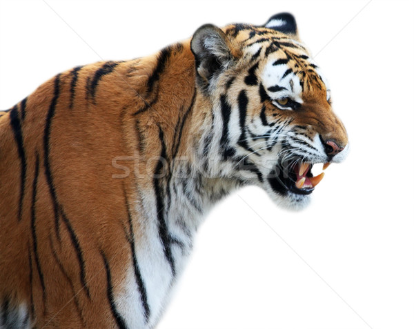 Stock photo: Tiger roaring