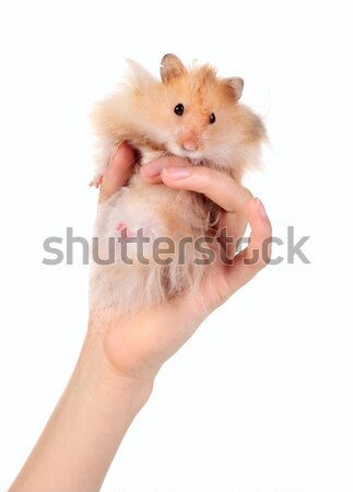 Funny hamster in the hand Stock photo © DedMorozz