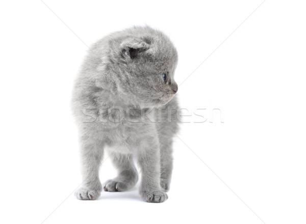мало котенка британский изолированный белый красоту Сток-фото © DedMorozz