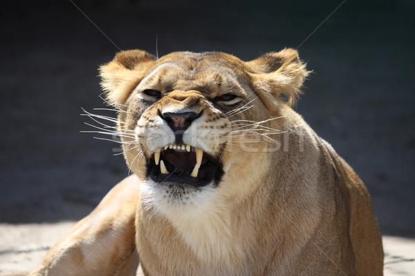 Lioness' bared teeth Stock photo © DedMorozz