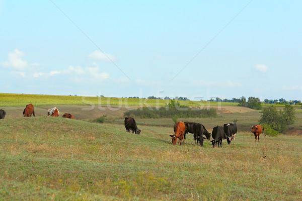коров области зеленый облака пейзаж лет Сток-фото © DedMorozz