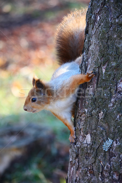 белку дерево парка природы волос красивой Сток-фото © DedMorozz