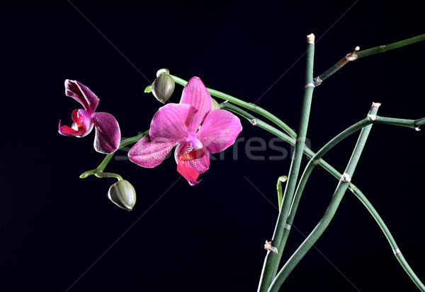 орхидеи цветок бутон филиала темно природы Сток-фото © DedMorozz