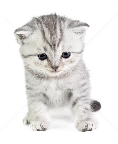 мало котенка сидят британский изолированный белый Сток-фото © DedMorozz
