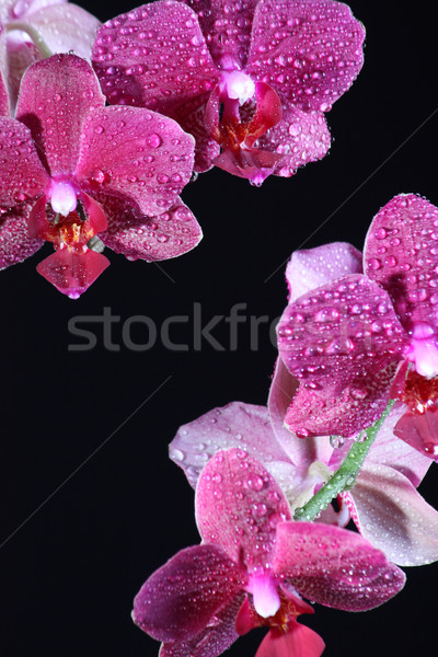 розовый орхидеи темно красивой красоту цвета Сток-фото © DedMorozz