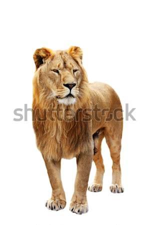 Big lion stands Stock photo © DedMorozz
