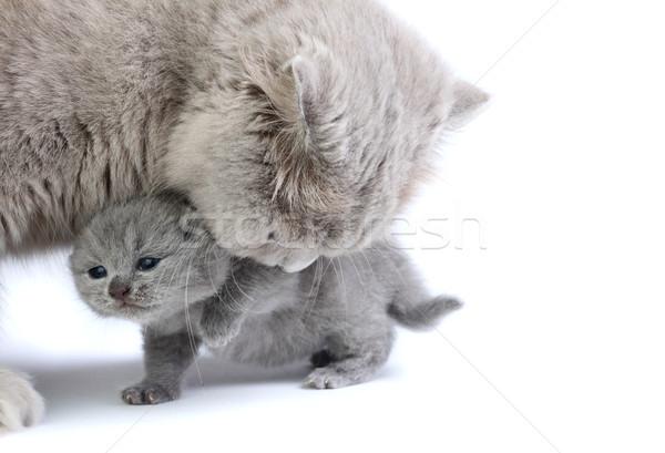 мало котенка матери британский изолированный белый Сток-фото © DedMorozz