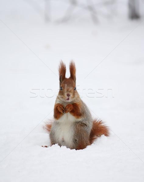 écureuil neige hiver parc nature cheveux Photo stock © DedMorozz