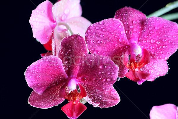 розовый орхидеи темно красивой цветок черный Сток-фото © DedMorozz