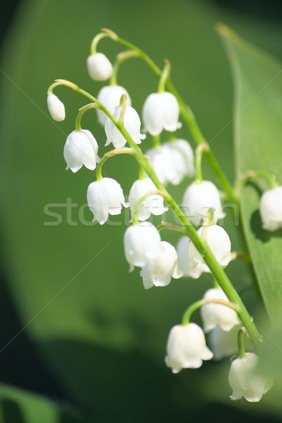 Лилия долины цветы природы зеленый листьев Сток-фото © DedMorozz