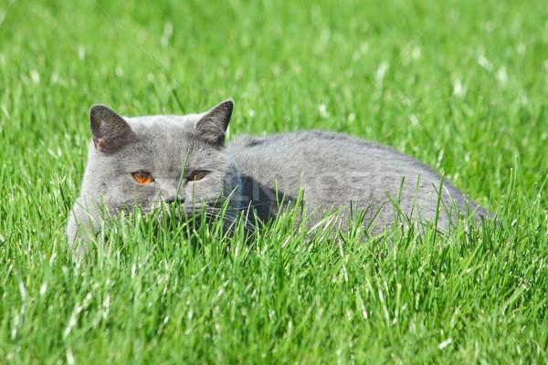 Grey brittish cat in the grass Stock photo © DedMorozz