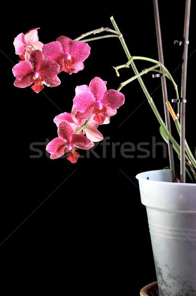 орхидеи цветочный горшок красивой темно цветок природы Сток-фото © DedMorozz