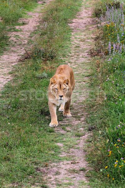 Lioness walking on the road Stock photo © DedMorozz