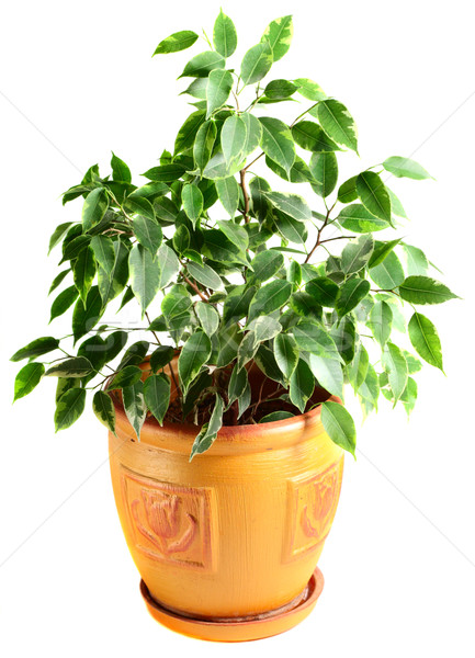 Ficus in a flowerpot Stock photo © DedMorozz