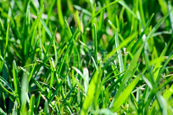 зеленая трава области весны трава лет зеленый Сток-фото © DedMorozz