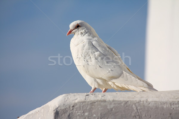 White dove and clear sky Stock photo © DedMorozz